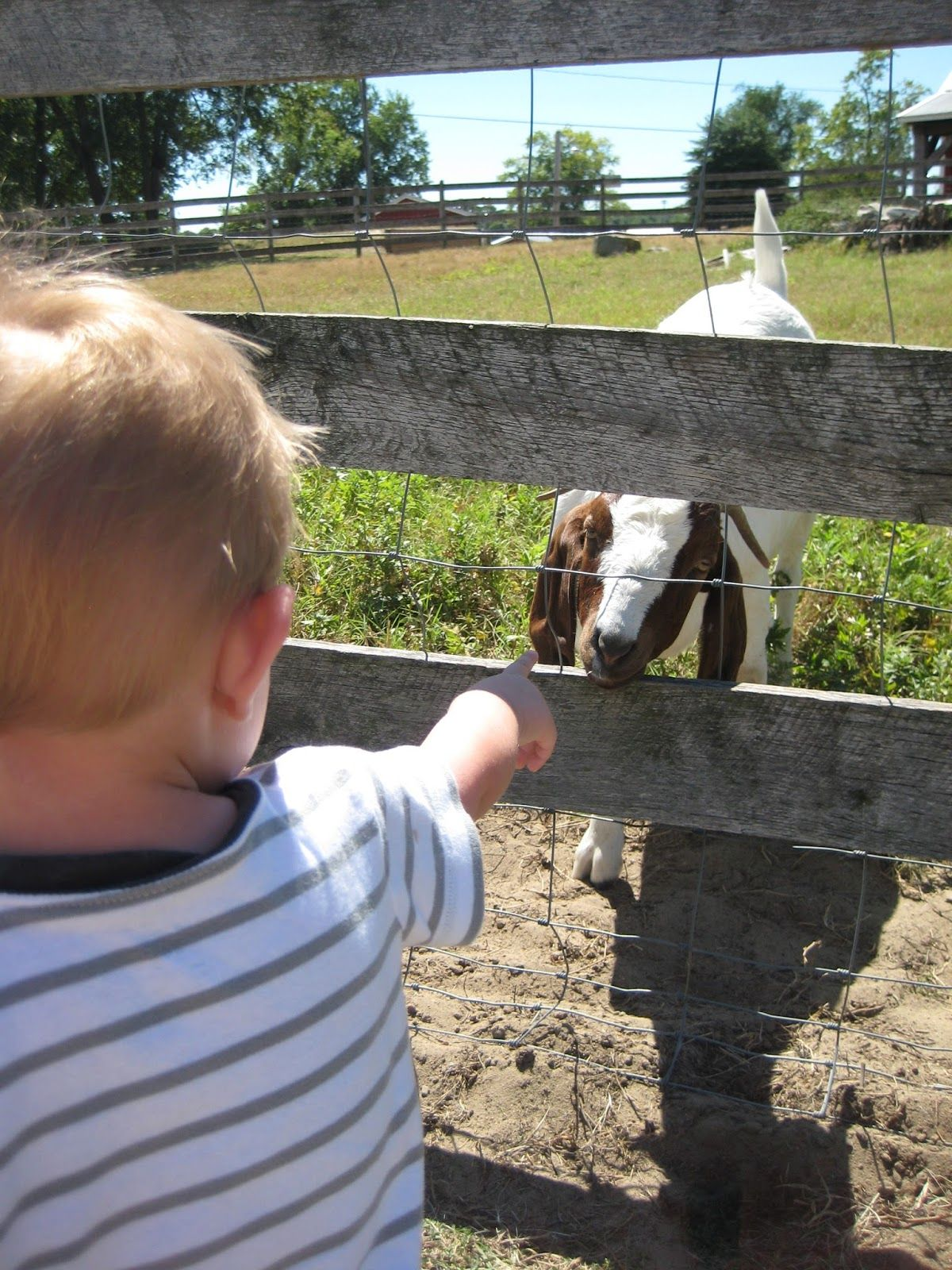 A child in a striped shirt pokes his finger through a wire fence toward a white and brown goat