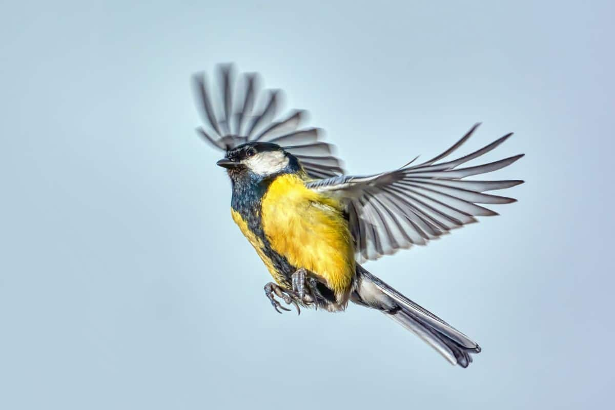 A blue tit with wings outstretched is against a blue sky