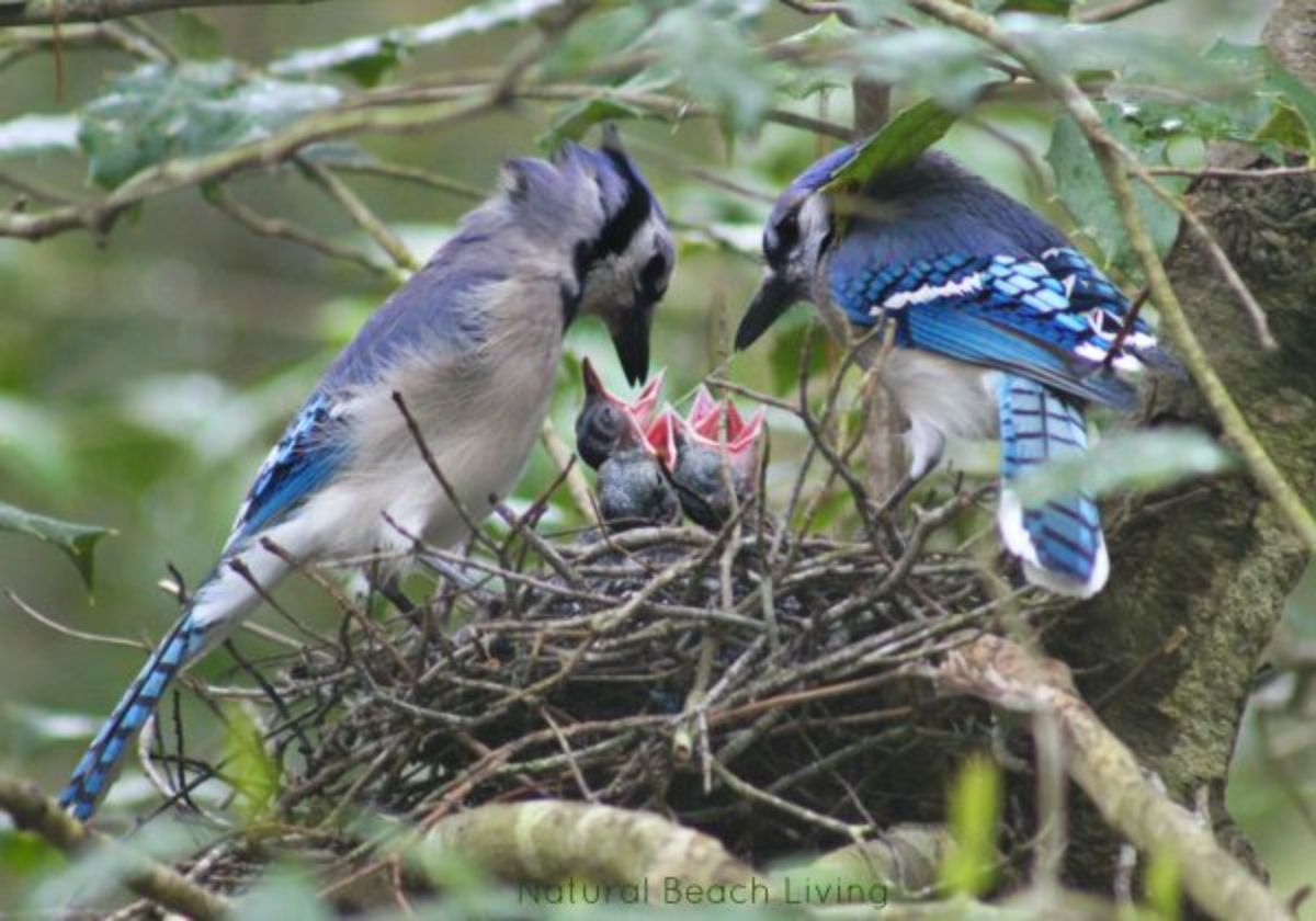 2 blue jays lean over a next in a tree with baby birds reaching up with open mouths in it