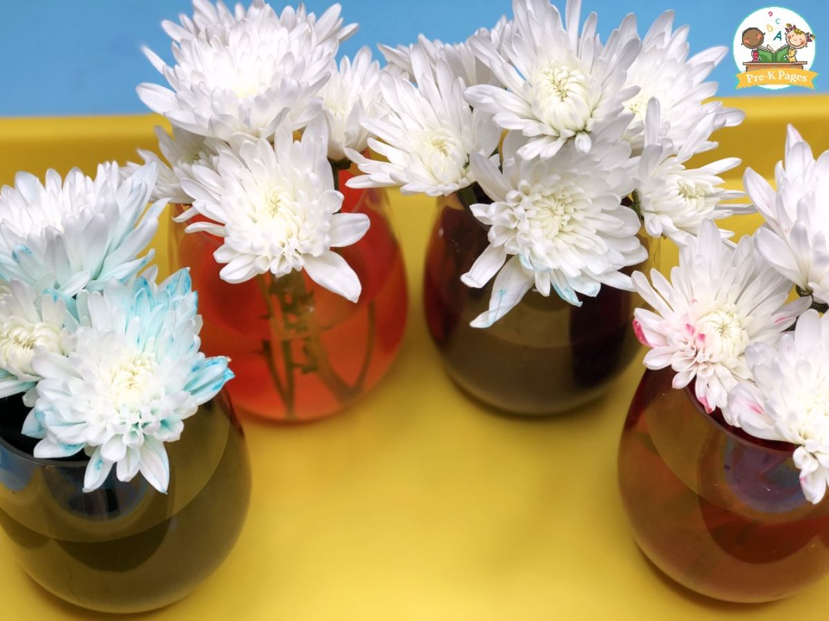 4 glass vases are on a yellow table. Each has a different colored water in it and white flowers with the ends of the petals tinged