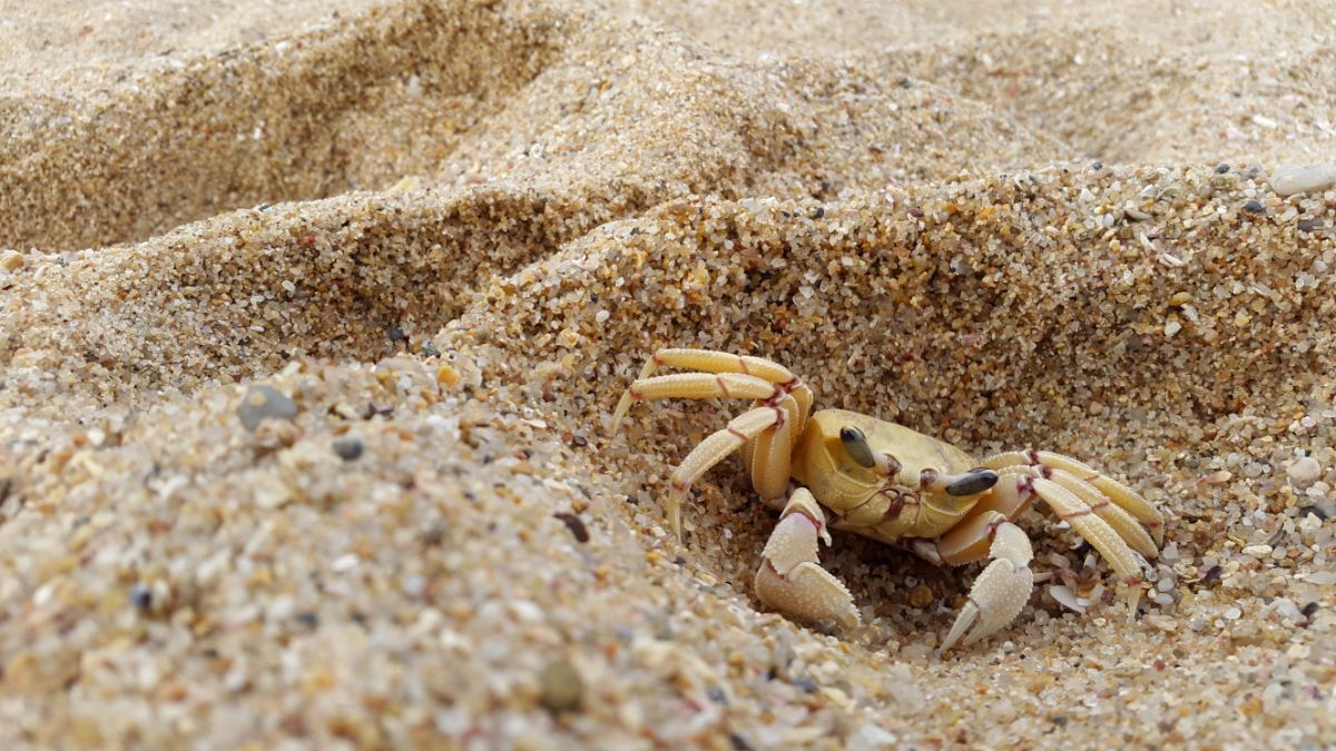 a sand crab nestles in a sand dune
